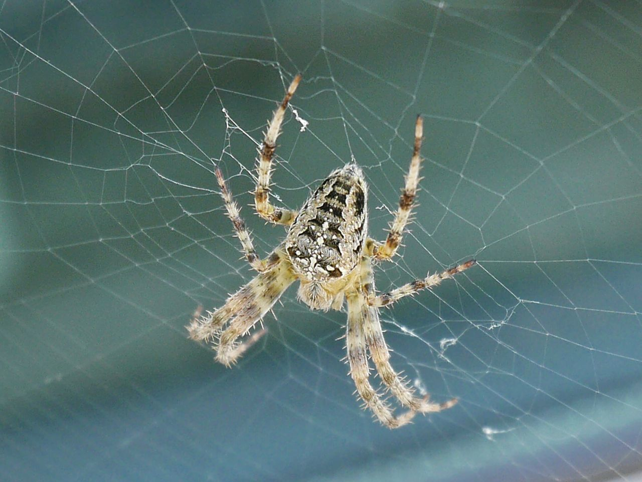 Beautiful stock photos of spider's, spider web, one animal, animal themes, insect