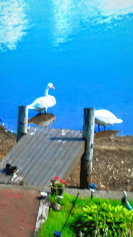 Swim⛅🐝 Lakelife Lake View Colorsplash Color Photography Color Explosion Swans Swanlake Lakeside Dockside Docks