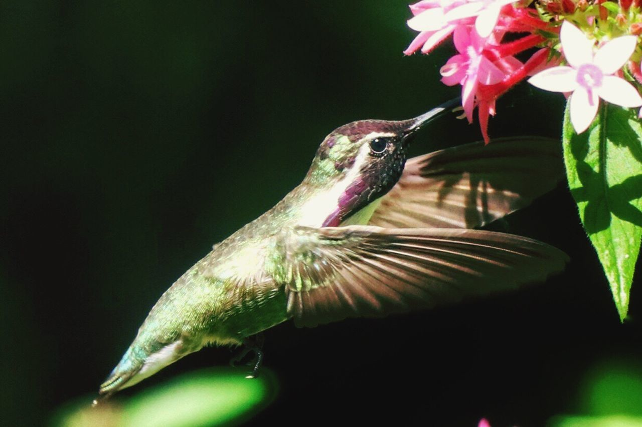 Hummingbird Animals In The Wild Close-up Nature No People Outdoors Beauty In Nature Nature Hummingbirdphotography