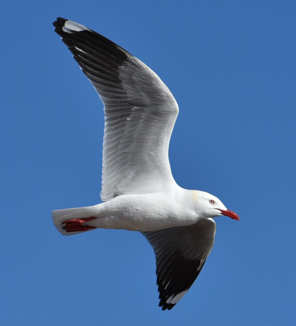 bird, spread wings, flying, one animal, animals in the wild, animal themes, animal wildlife, mid-air, white color, day, seagull, nature, full length, outdoors, no people, beak, clear sky, sky, close-up