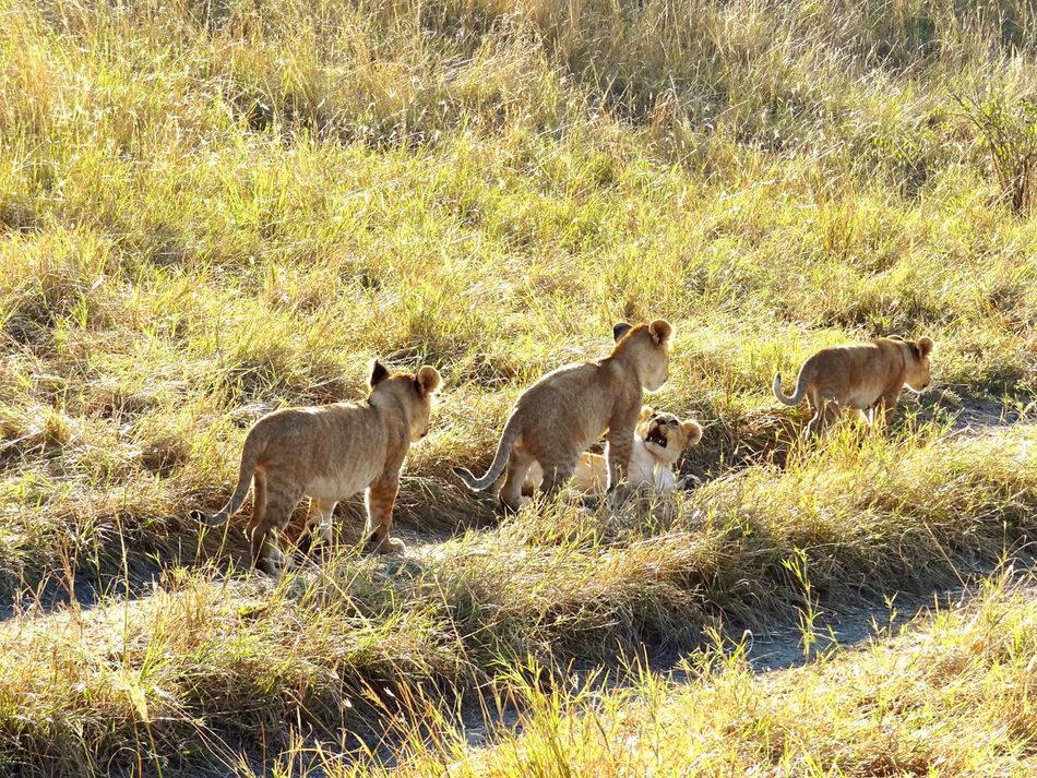 Animals In The Wild Lion Cubs Playing Lion Cubs Wildlife Grassy Rickeherbertphotography Travel Photography Masai Mara National Park