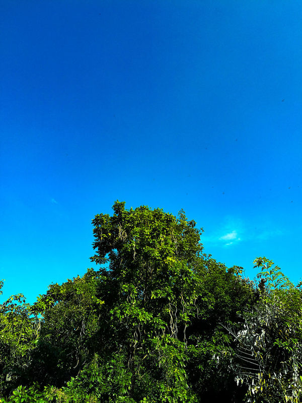 Look up. Tree Nature Blue Clear Sky Sky Pinaceae Growth Beauty In Nature No People Leaf Low Angle View Day Outdoors Treetop Adayinthailand Thailand Headup Headuphigh UpinTheSky Upintheair Chiang Mai   Thailand Chiang Mai Night Safari Tranquility