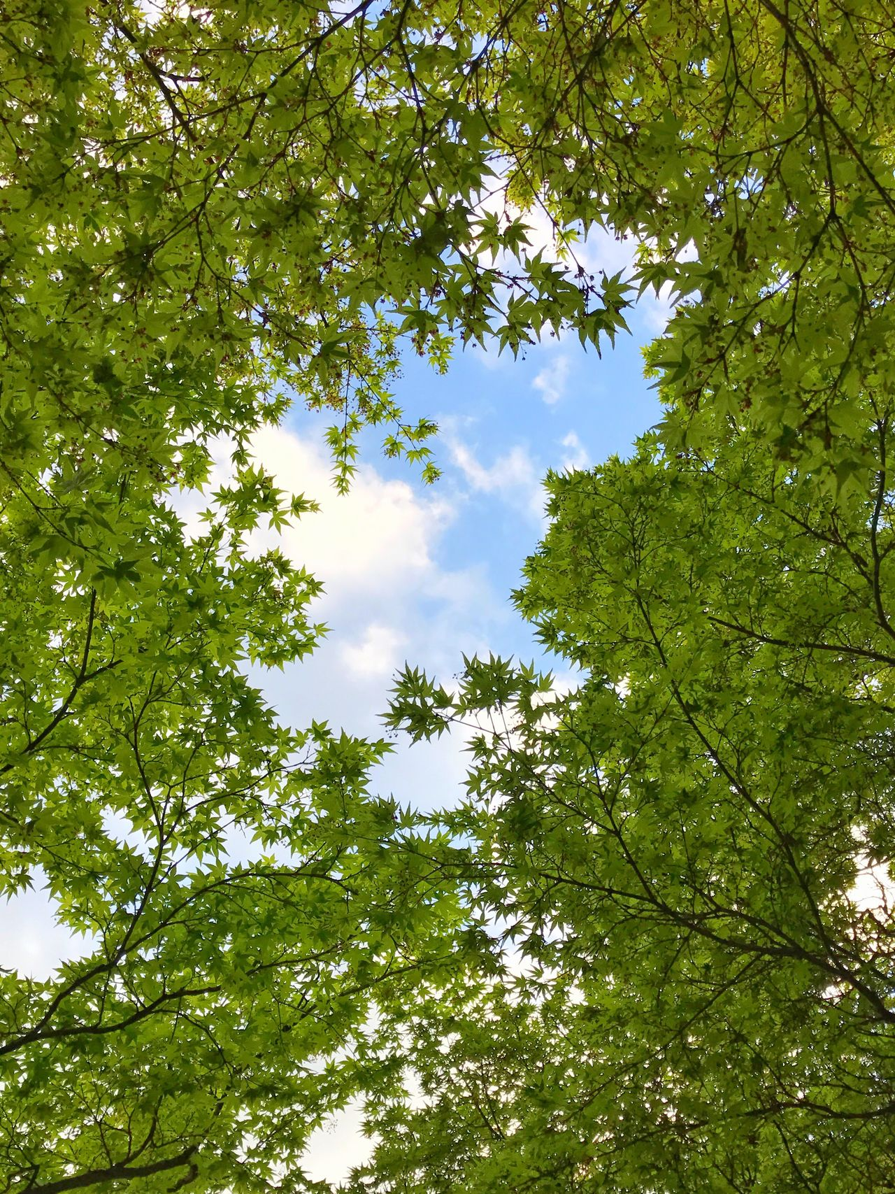 Tree Kyoto City Low Angle View Nature Forest Growth Green Color Leaf Branch Day Beauty In Nature Green Outdoors No People Sky Tranquility Blue Sky