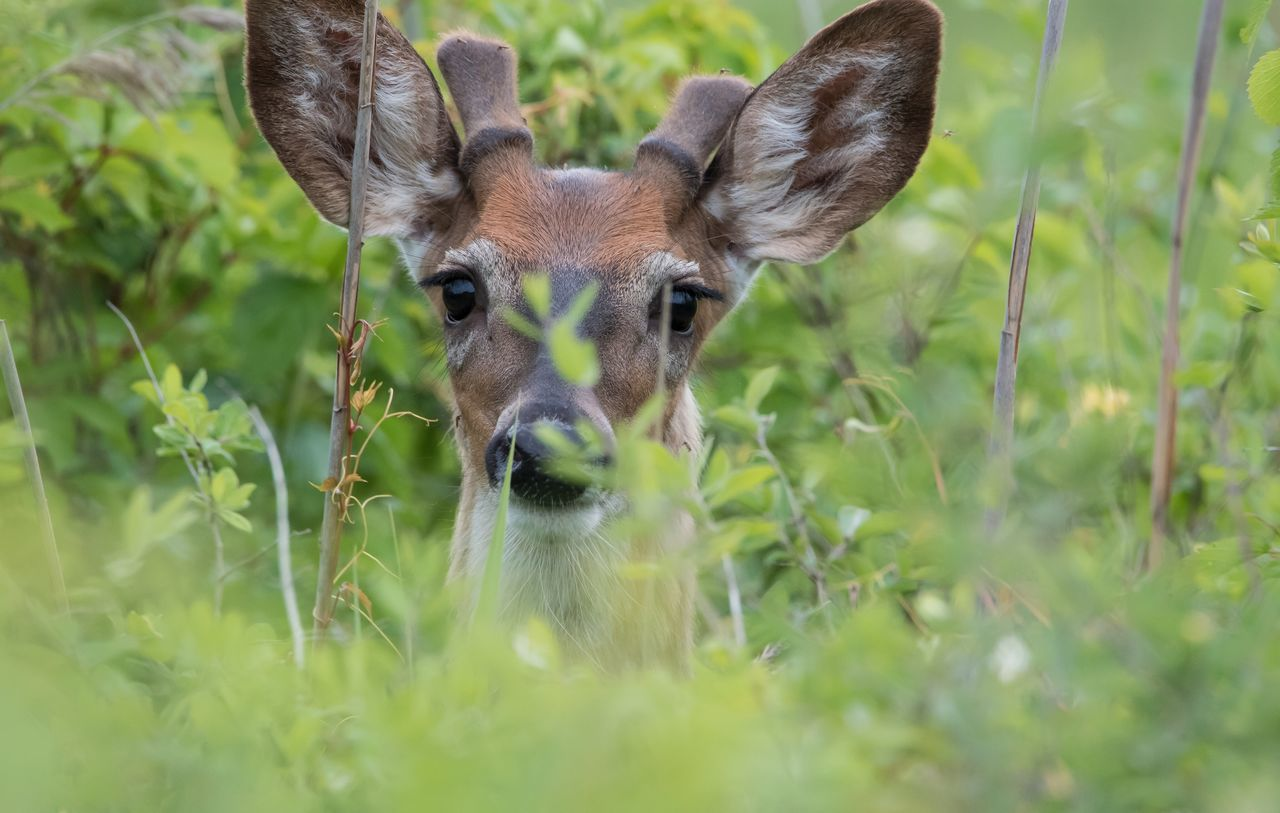 Beautiful stock photos of hirsch, Animal Themes, Animal Wildlife, Animals In The Wild, Beauty In Nature