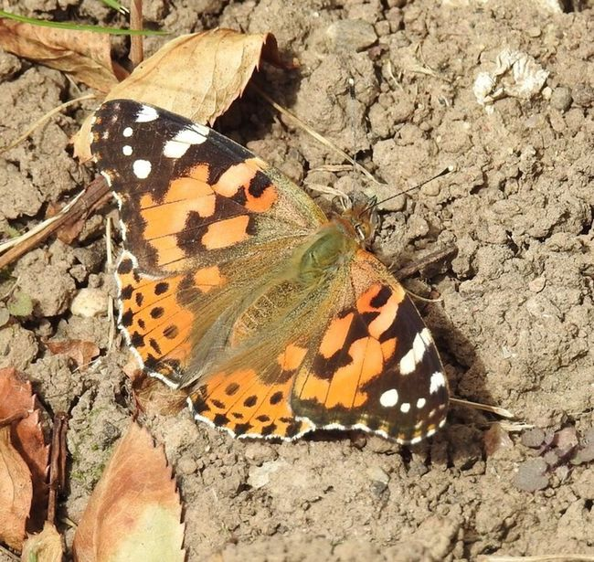 Butterflies Butterfly Butterfly - Insect Painted Lady Wildlife & Nature No People Wildlife Photography Nature Photography Natural World