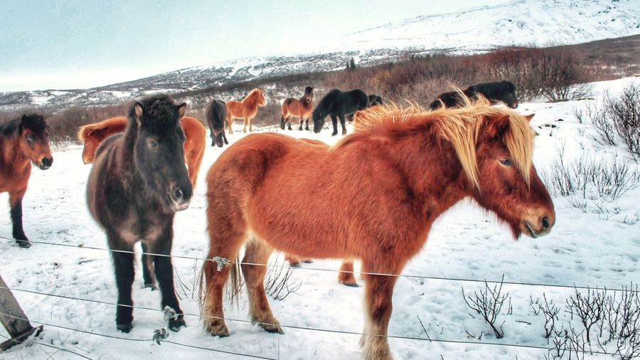 Beauties. EyeEm Nature Lover EyeEm Animal Lover Animals Horse Service Animals Q Road Trip Winter What Who Where Horses Snow Temperature Cold Winterscapes Creatures