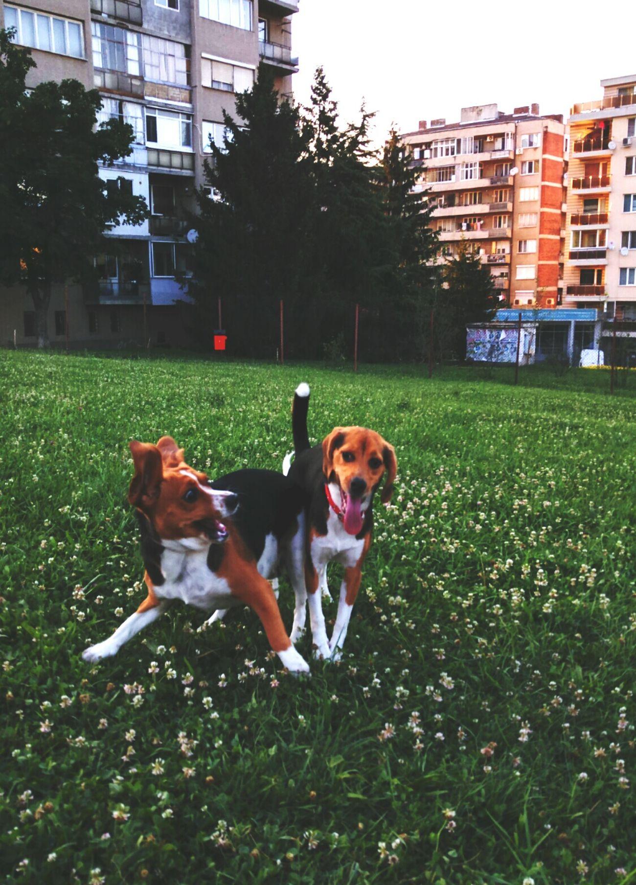 Beagle Love Beagle DogLove
