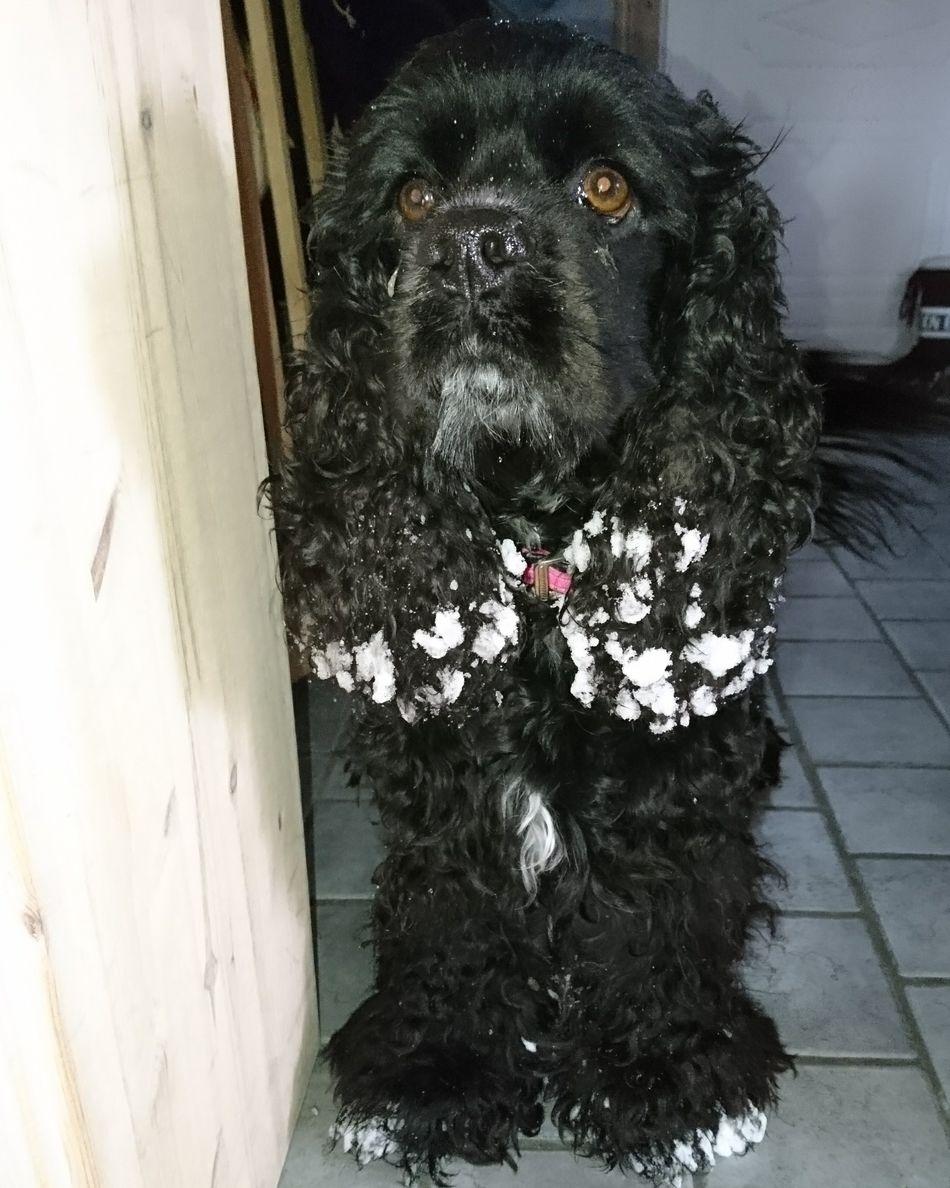 My Baby American Cocker Spaniel Snow Spring Day Cute♡ Dog