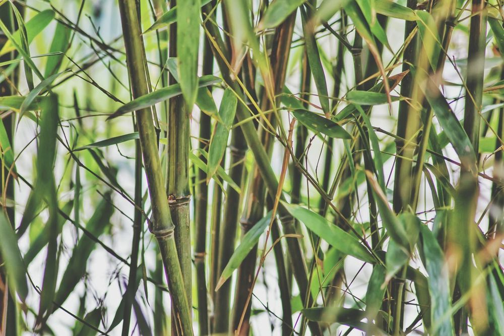 Bamboo Bamboo Shoots Bamboo Fence Bambu Greenery Showcase April This Week On Eyeem Things ı Like I Love Photography!<3 I Love Taking Pictures <3