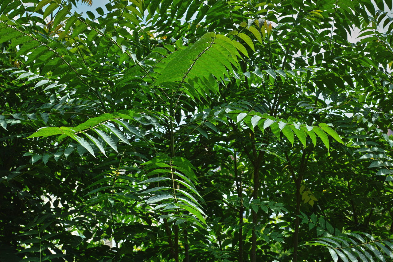Green staghorn sumac Backgrounds Beauty In Nature Day Green Color Green Green Green!  Growth Leaf Low Angle View Nature No People Outdoors Plants Staghorn Sumac Summer Tree