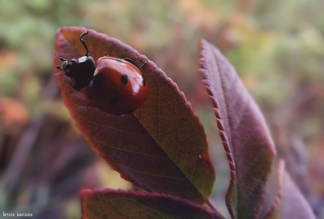 Summer Nature Transbaikalia Plants 🌱 Macro Insect Beauty In Nature Rosehip Evening Ladybeetle