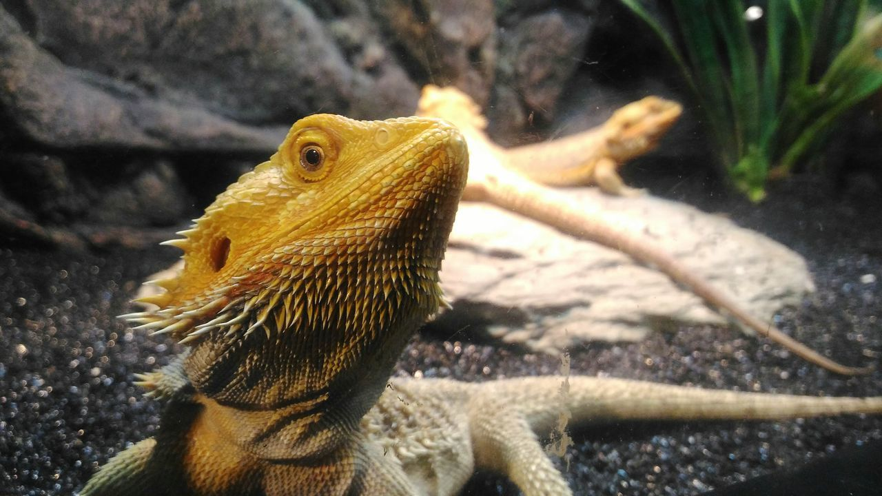 The Week On Eyem Bearded Dragon Animal Wildlife Beauty In Nature Forest Photography Animal Themes Animals In The Wild Reptile Yellow Animals Nature Close-up Closeup Nature Animals Yellow Yellow Reptile