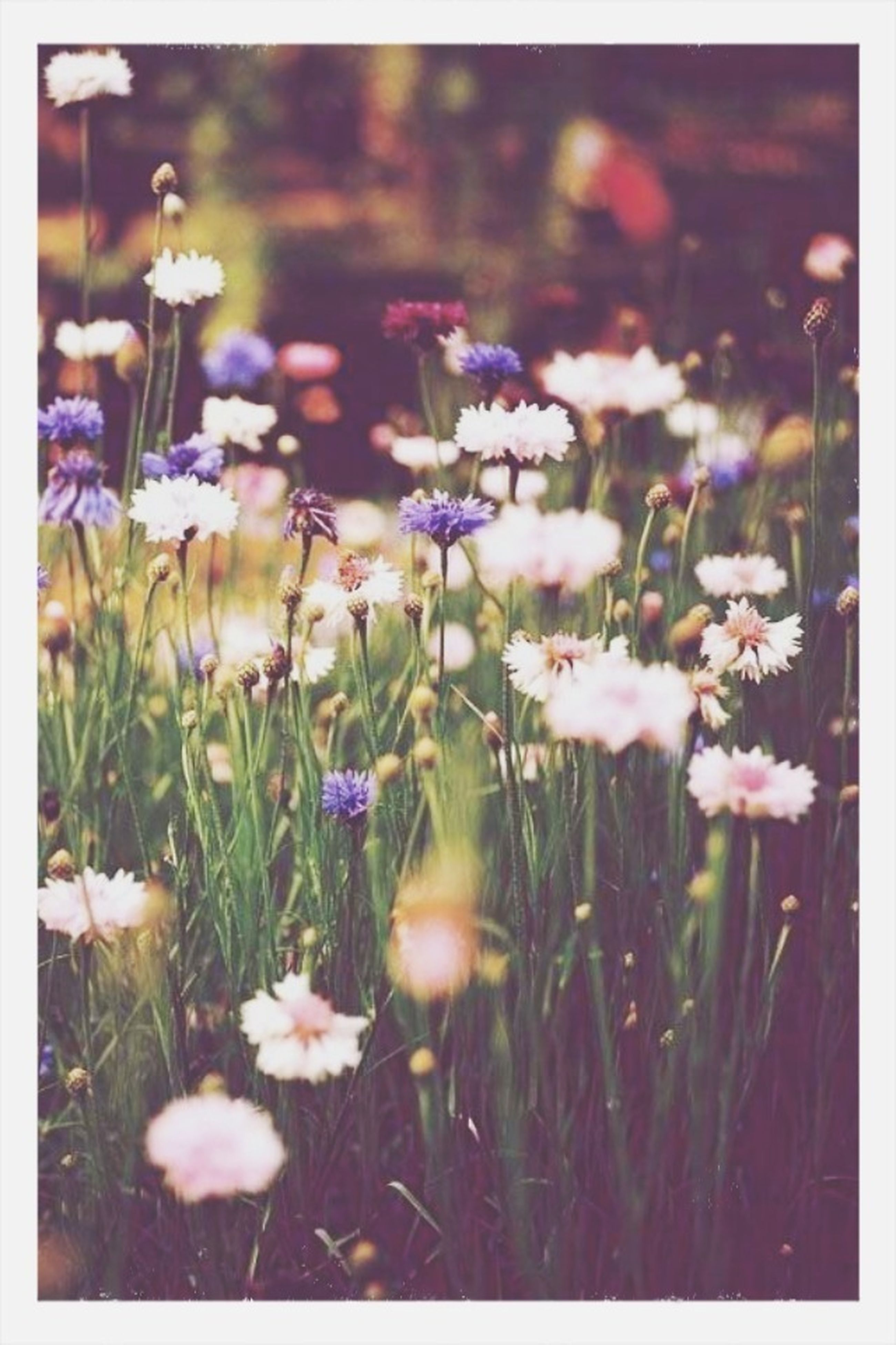 flower, freshness, growth, fragility, transfer print, field, beauty in nature, plant, auto post production filter, nature, blooming, petal, flower head, stem, focus on foreground, grass, wildflower, white color, in bloom, selective focus