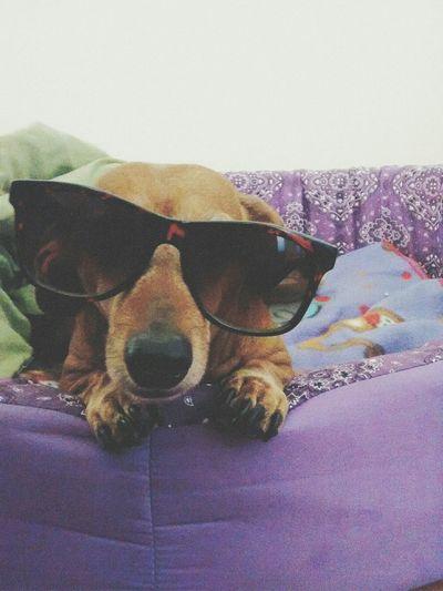 Dog Dachshund Swag Style DOPE Thug