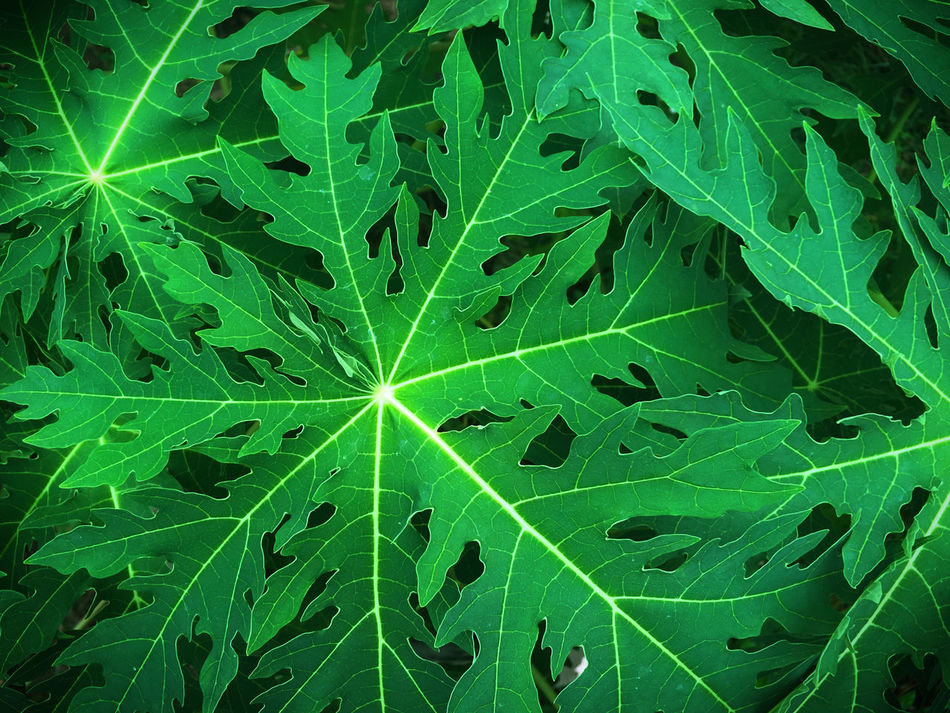 Papaya Leaves Backgrounds Beauty In Nature Full Frame Green Color Green Leaf Leaf Nature Thailand Art Is Everywhere