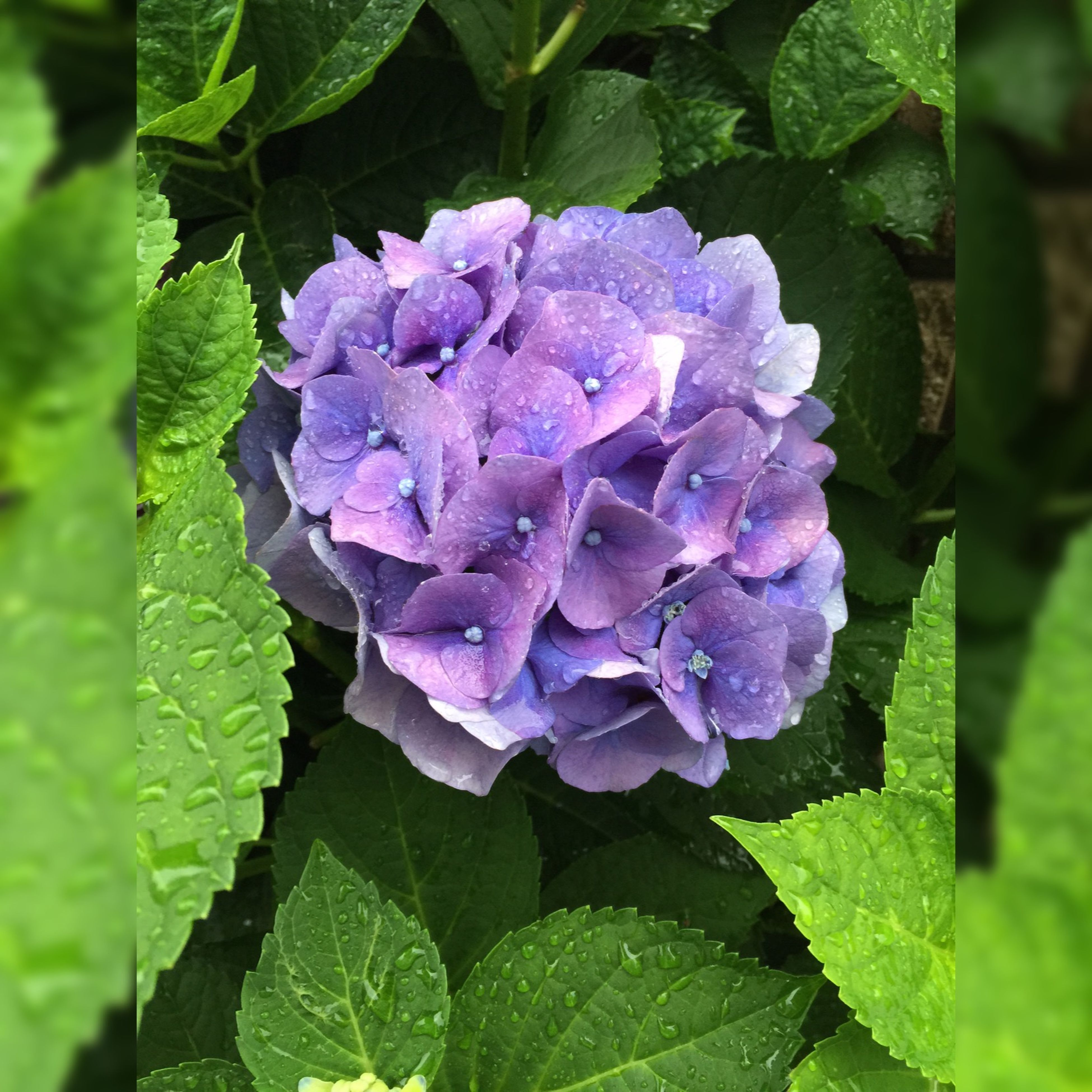 freshness, flower, growth, purple, leaf, fragility, beauty in nature, petal, close-up, flower head, plant, green color, nature, hydrangea, blooming, focus on foreground, drop, in bloom, wet, outdoors