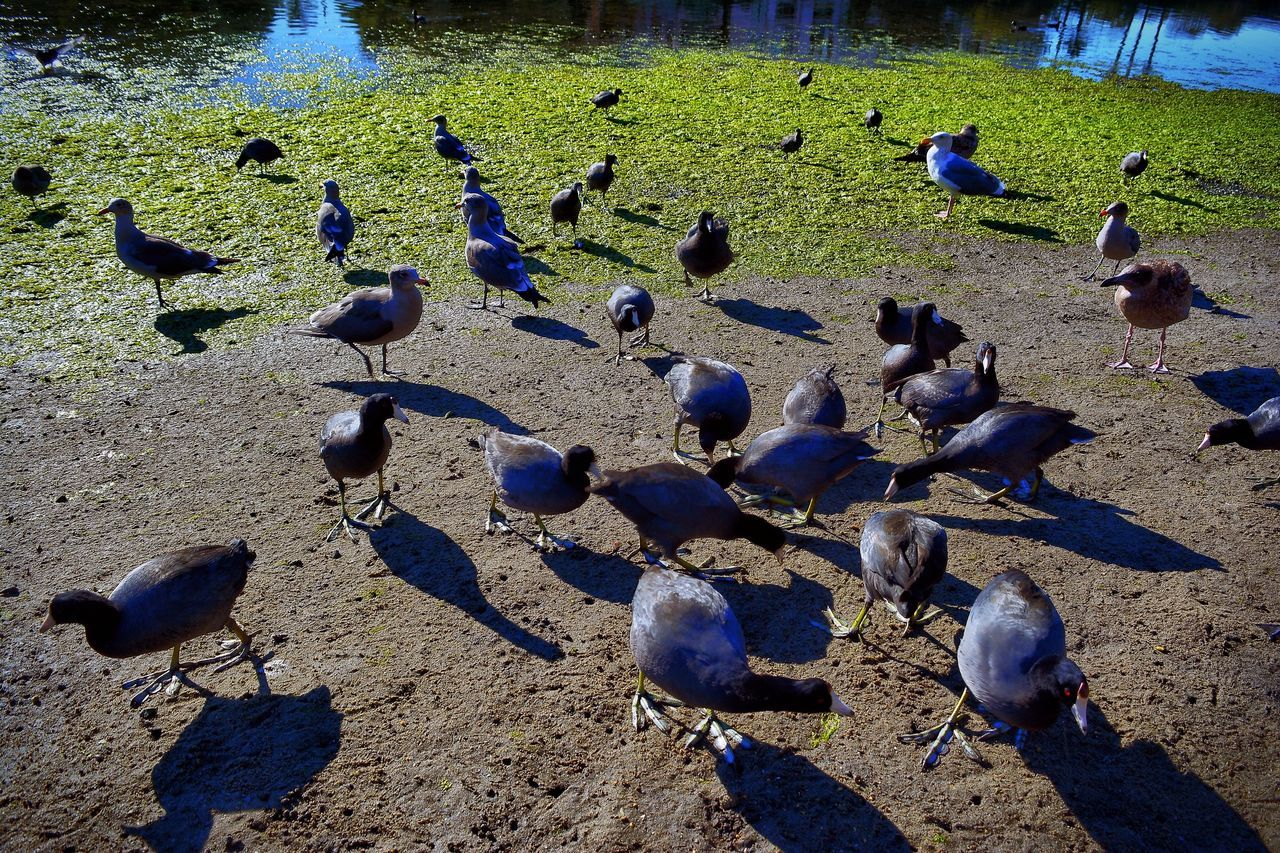 bird, animal themes, large group of animals, animals in the wild, sunlight, high angle view, shadow, day, animal wildlife, outdoors, no people, flock of birds, nature, water