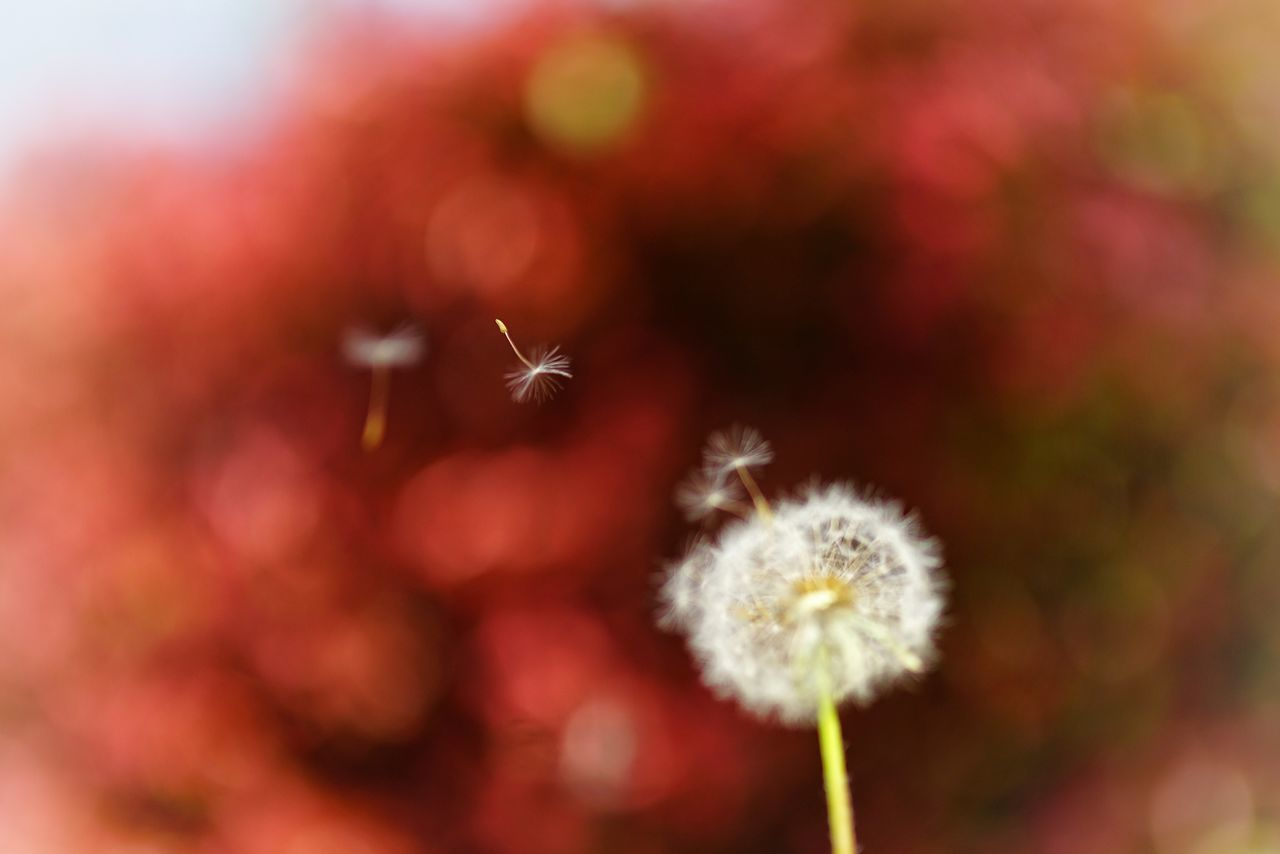 Capture The Moment Fly Away Dandelion Seed Flying Fragility Focus On Foreground Depth Of Field Beauty In Nature Fine Art Macro Fantasy Uzuki Of The Flower Nature Snapshots Of Life Macro Outdoors EyeEm Nature Lover Getting Inspired Bokeh Fantasy Full Frame Detail Sigma SONY A7ii EyeEm Best Shots 17_05 BYOPaper! The Great Outdoors - 2017 EyeEm Awards EyeEmNewHere