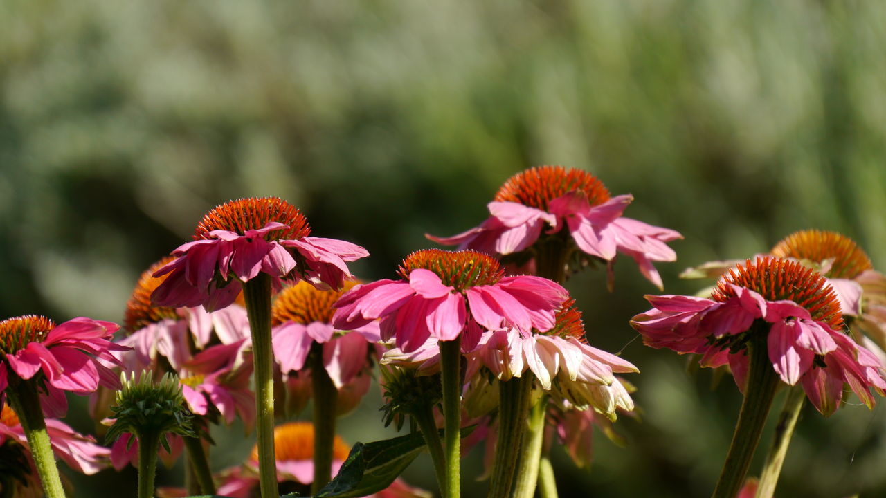 echinacea beauty Beauty In Nature Blooming Botany Close-up Echinacea Echinacea Purpurea EyeEm Gallery EyeEm Nature Lover Eyem Gallery Flower Flower Head Focus On Foreground Fragility Freshness In Bloom Nature Pink Color