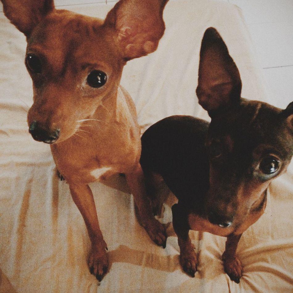 Beautiful stock photos of chihuahua, Chihuahua, Cute, Front View, Full Length