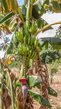 Africa Banana Banana Banana Tree Banana Tree Beauty In Nature Blooming Tree Bunch Day Food Freshness Fruit Green Color Growth Growth Nature Nature No People Outdoors Plant Travelshots Tree Tree Tropical Climate Unripe