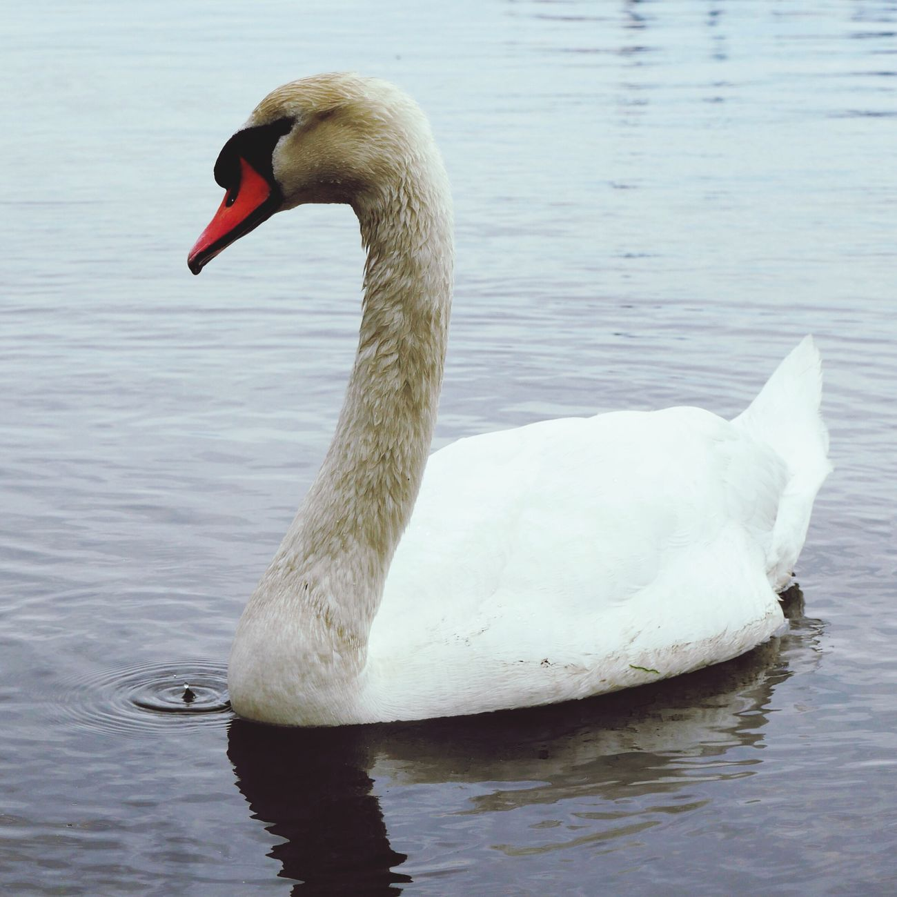 One Animal Animal Themes Animals In The Wild Lake Water White Color Animal Wildlife Waterfront Swan No People Nature Day Bird Outdoors Swimming Close-up