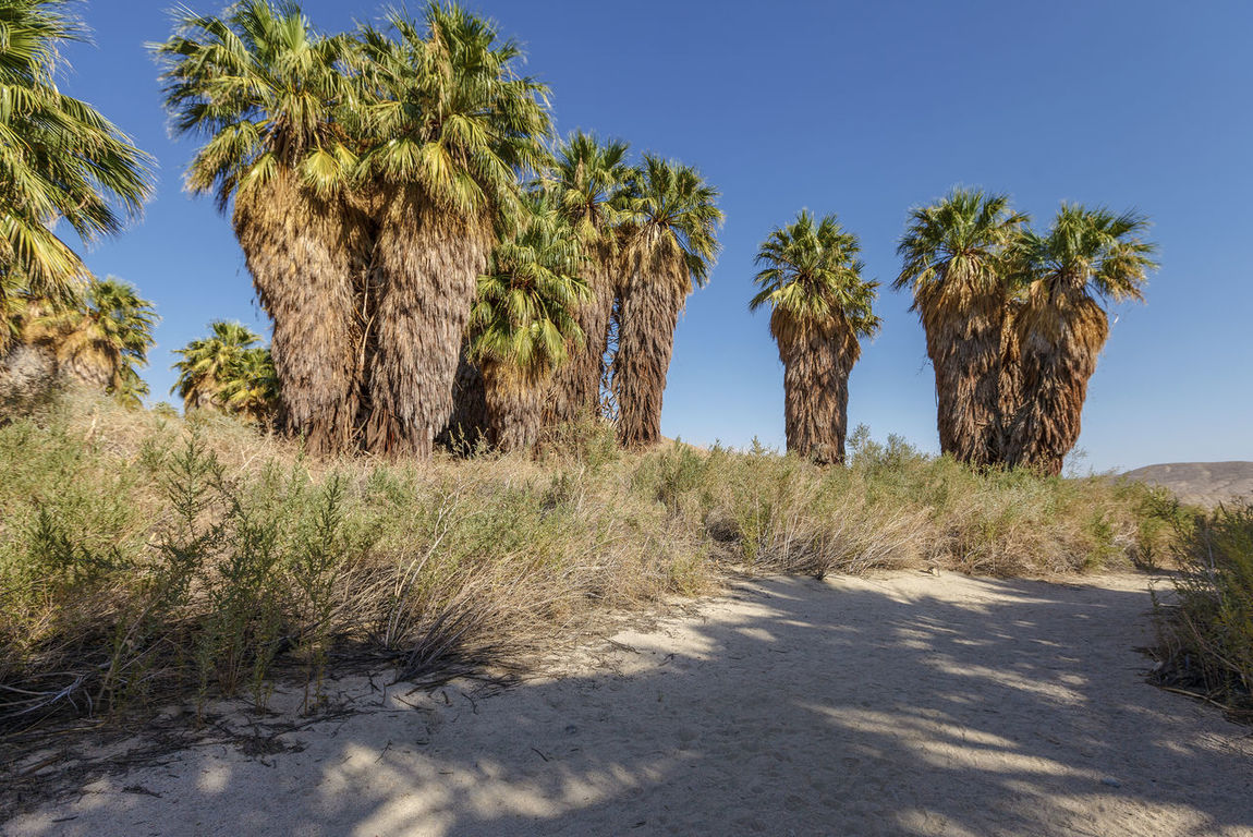 Coachella Valley Reserve - fluffy trees, California, USA America Arid Climate Beauty In Nature California Clear Sky Coachella CoachellaValley Day Destination Grass Growth Nature No People Outdoors Palm Palms Reserve Road Scenics Sky Sunlight Tranquil Scene Travel Destinations Tree Valley