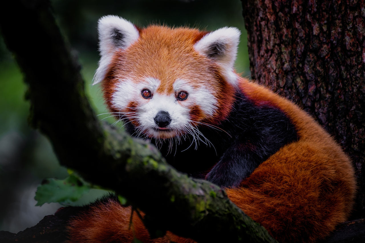 Cute little one Animal Animal Themes Animal Wildlife Animals In The Wild Day Mammal Nature Nature One Animal Outdoors Panda Portrait Red Panda Tree Wildlife