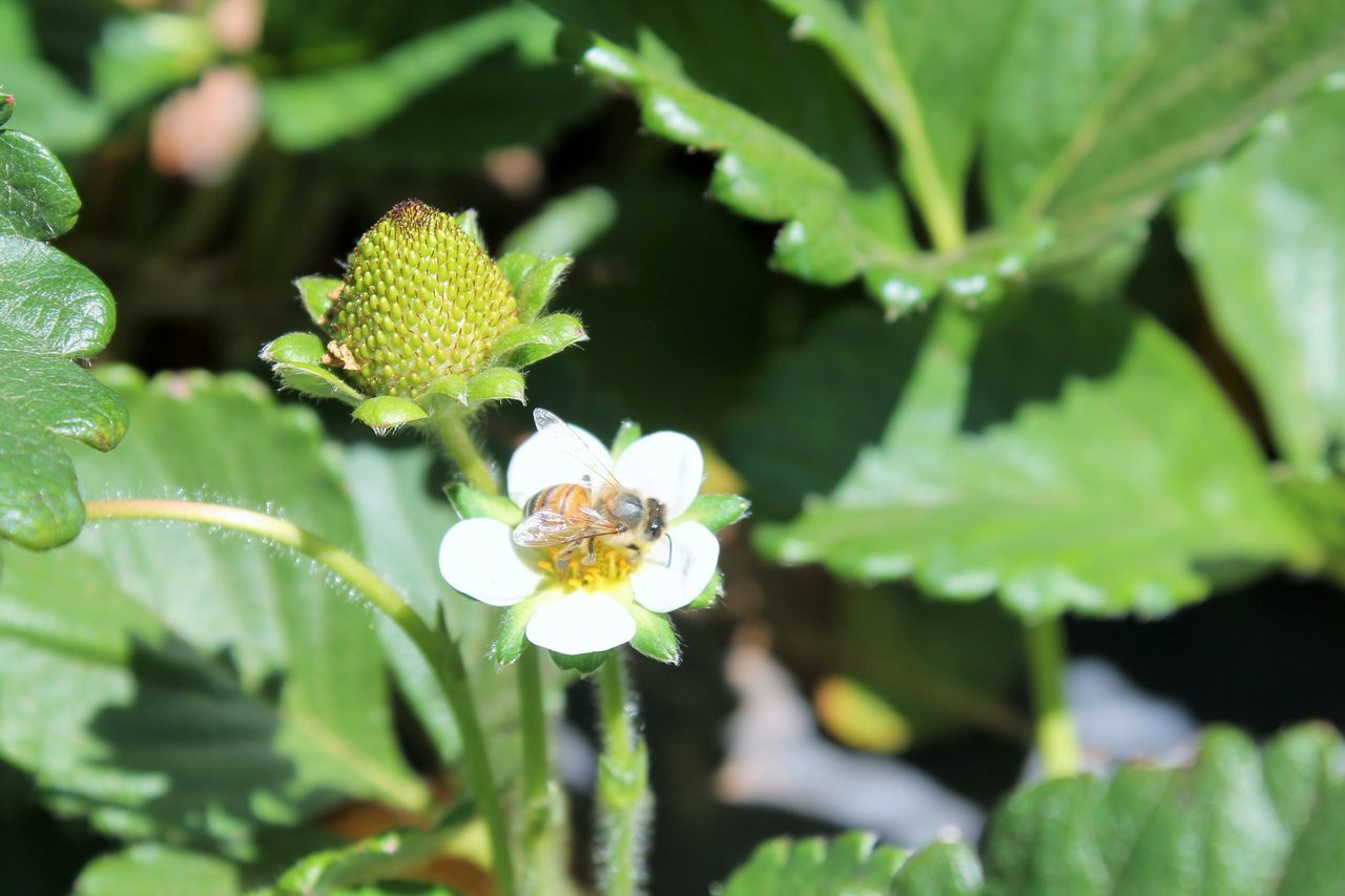 Beauty In The Strawberry Field Bee On White Flower Green Strawberry