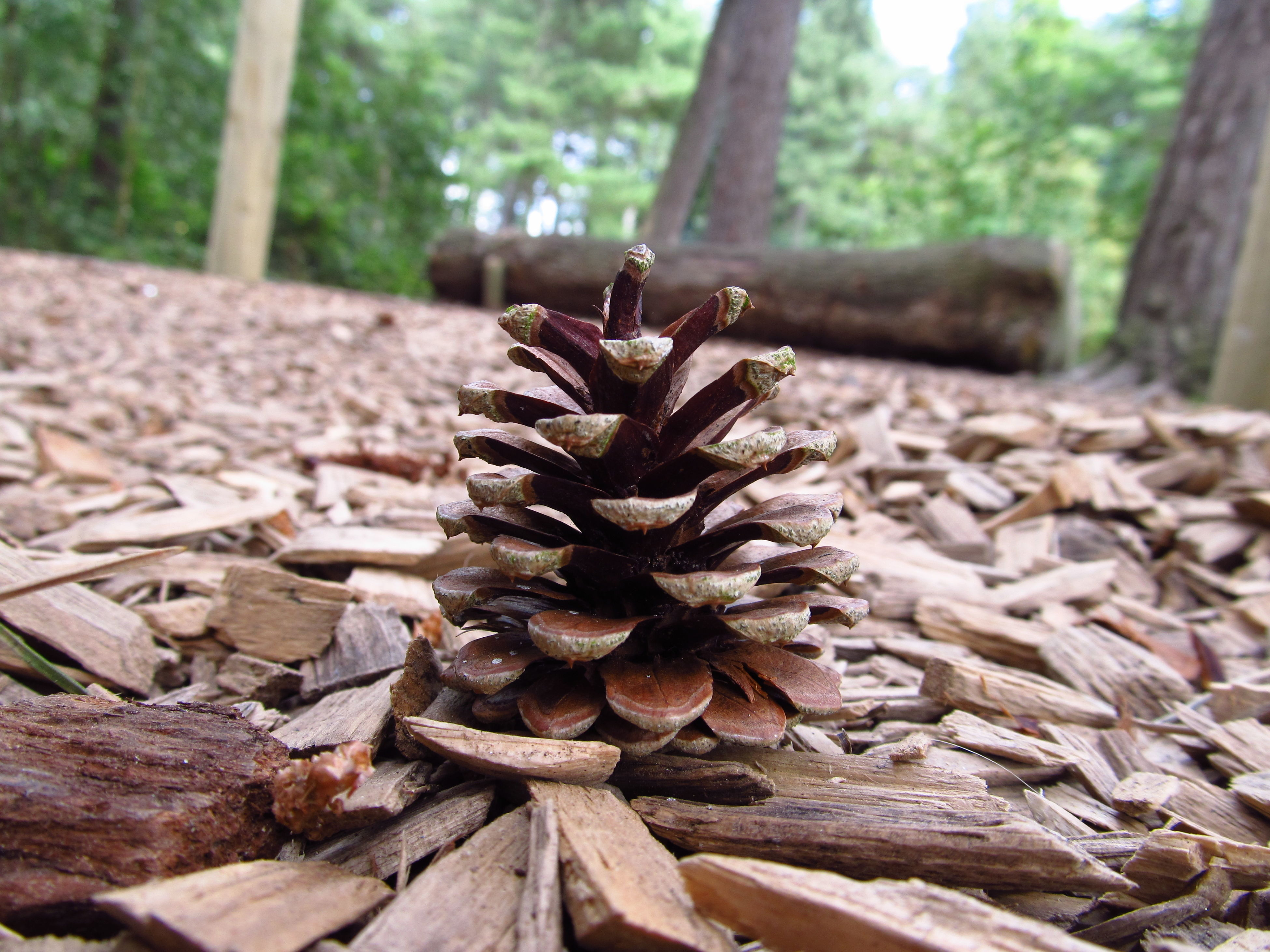 nature, tree, pine cone, no people, focus on foreground, close-up, outdoors, growth, beauty in nature, tranquility, day, flower head