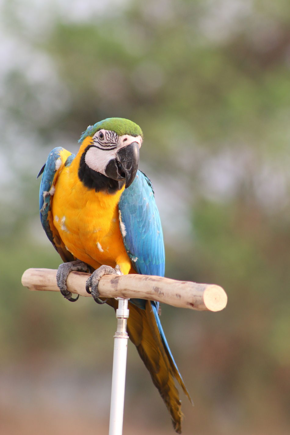 Macaw Macaw Parrot