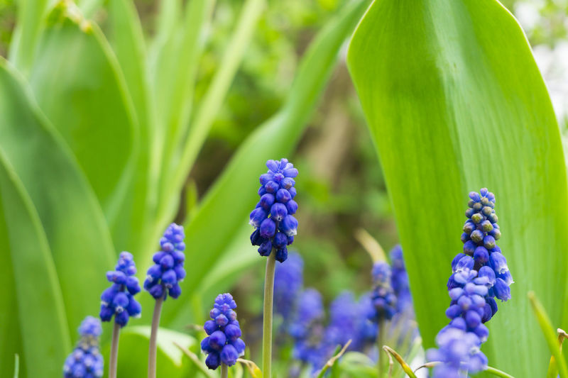 Grape Hyacinths Seasons Hyacinths Grape Hyacinths Flowers Muscari Blooming Purple Violet Nature Growth Growing Green Colors Freshness Garden Plants Spring Flowering Close-up Grass Field Beautiful Outdoor