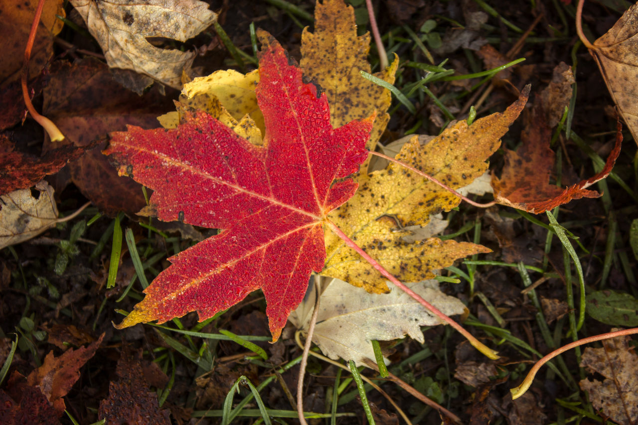 autumn, leaf, change, dry, maple, maple leaf, nature, leaves, day, fallen, outdoors, close-up, beauty in nature, no people, fragility, water