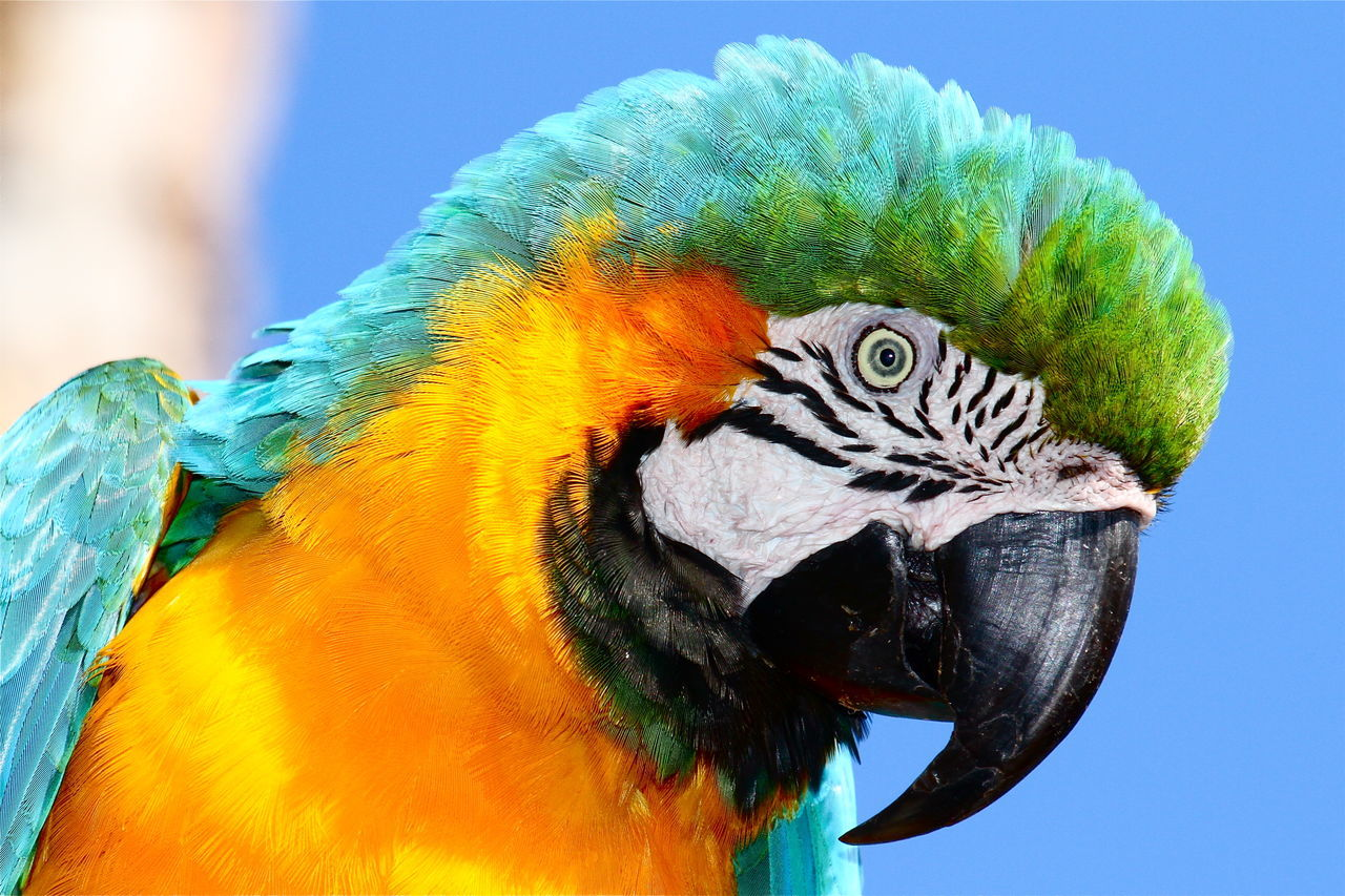 Beautiful stock photos of parrot, Animal Themes, Animals In The Wild, Beak, Beauty In Nature