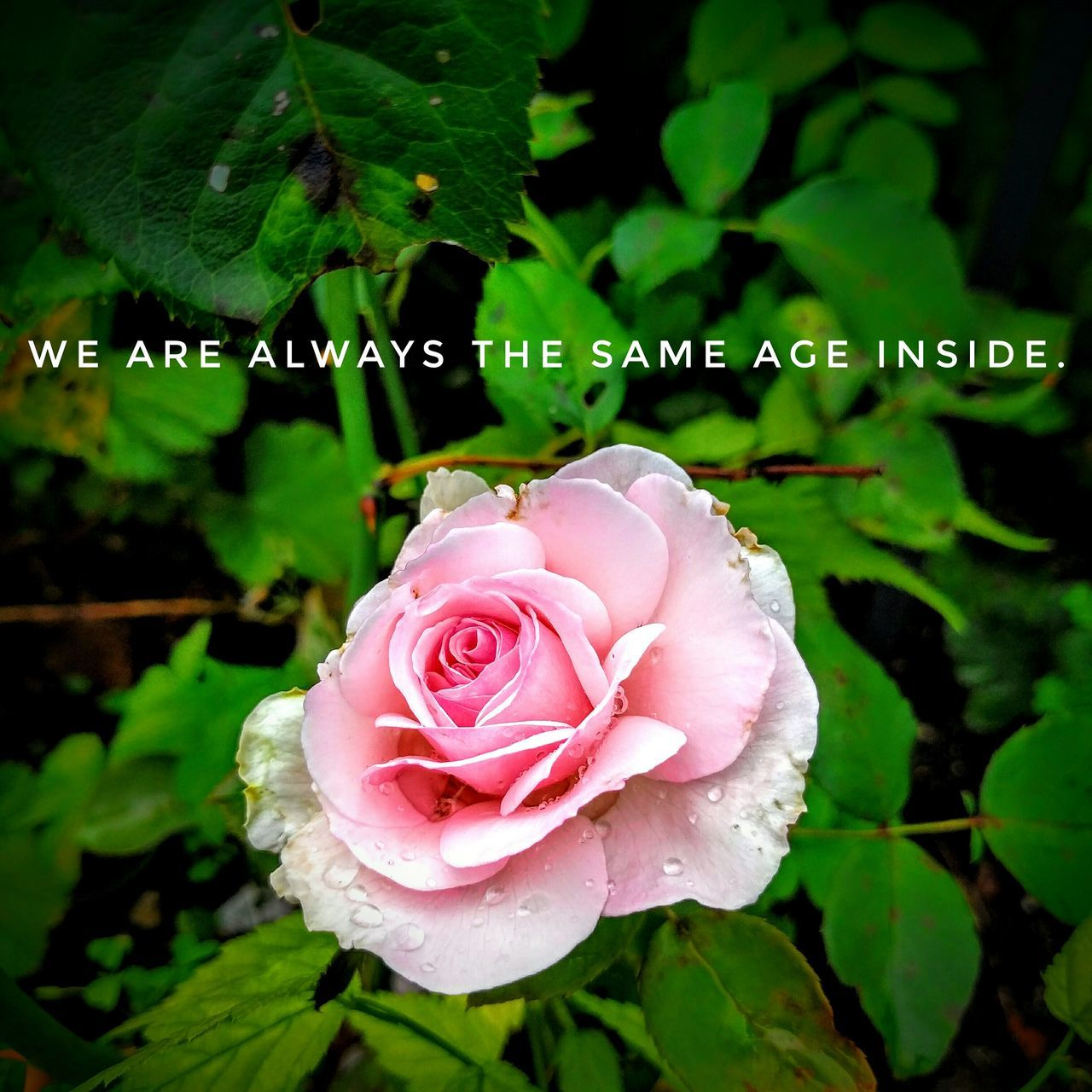 flower, petal, plant, drop, nature, growth, rose - flower, fragility, beauty in nature, leaf, green color, flower head, pink color, no people, freshness, close-up, water, raindrop, outdoors, day