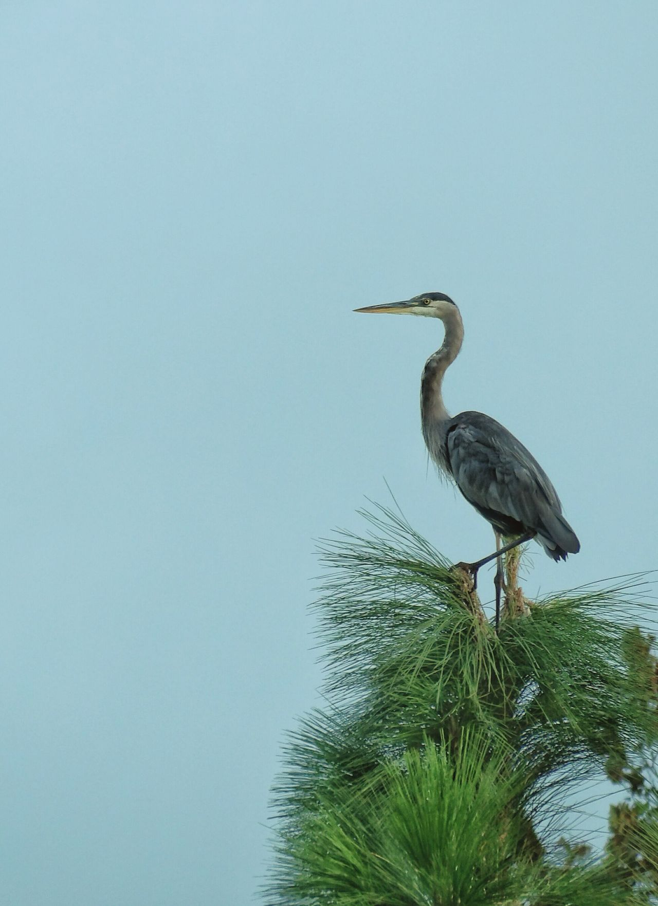 Majestic Creature Great Blue Herons Majestic Nature Eye Em Nature Lover Birds_collection Birds Of EyeEm  Nature On Your Doorstep Nature_collection Bird Photography