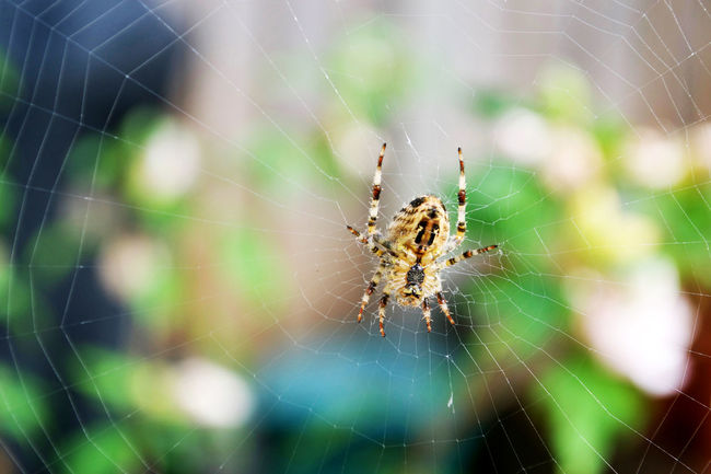 Animal Markings Animal Themes Animals In The Wild Beauty In Nature Close-up Cob Web Complexity Day Focus On Foreground Fragility Insect Intricacy Natural Pattern Nature No People One Animal Outdoors Spider Spider Web Spiderweb Spinning Survival Web Wildlife Zoology