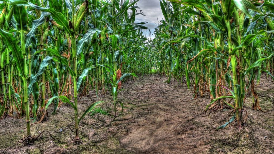 Botany Green Color HDR Maisfeld Maize Field No People Vegetable