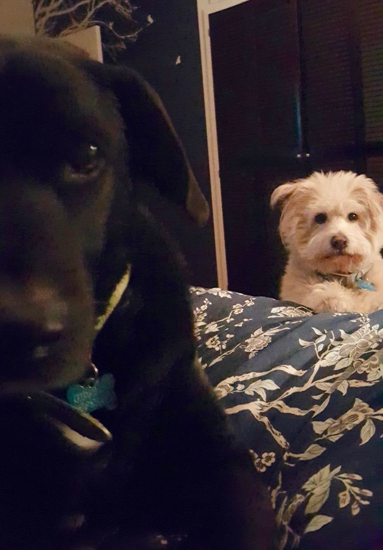 Black And White Dogs Cute Dog Indoors  Looking At Camera Perspective