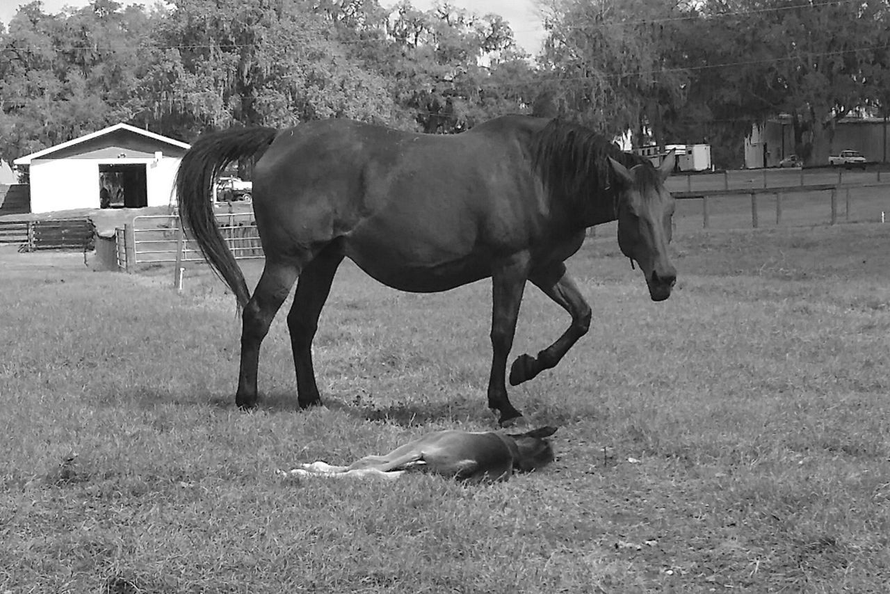 Animal Themes Domestic Animals Horse Livestock Mammal No People Horse&foals Blackandwhite Black & White Monochrome Hello World Taking Photos Tranquil Scene Cloud - Sky Growth Birth Proud Mommy Beauty In Nature