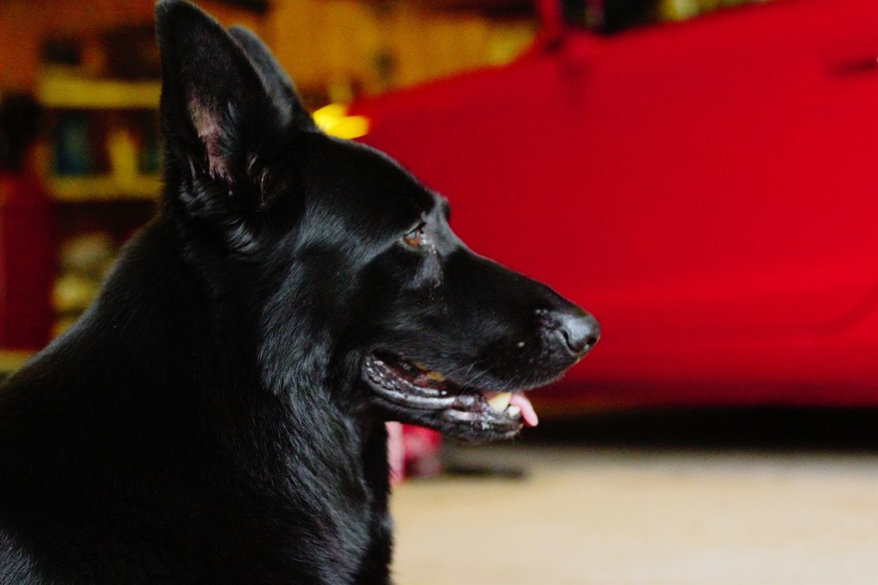 dog, pets, domestic animals, mammal, animal themes, one animal, black color, no people, close-up, indoors, day, nature