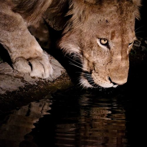 Animals In The Wild One Animal Animal Themes Water Animal Wildlife Lion - Feline Mammal No People Outdoors Rippled Close-up Lion Drinking Water Reflection Cat Wildlife Portrait Pond Water Hole EyeEm Best Shots EyeEm Nature Lover Check This Out in Kruger Park , South Africa MISSIONS: The Great Outdoors - 2017 EyeEm Awards The Portraitist - 2017 EyeEm Awards