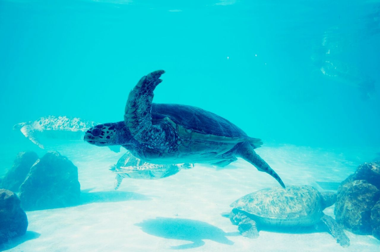 Beautiful stock photos of turtle, Animal Themes, Blue, Close-Up, Fish