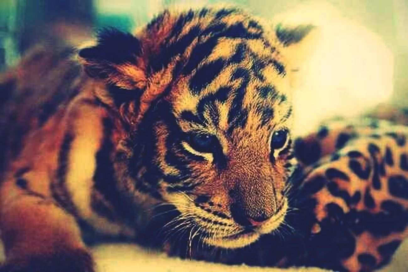 I Wont A Pet Tiger :) #WildChick