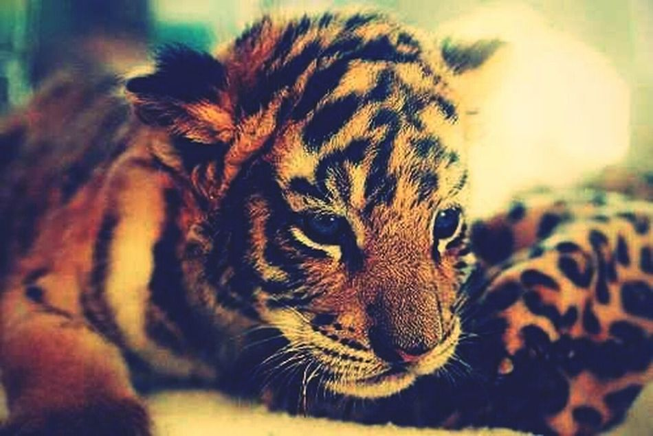 I Wont A Pet Tiger :) #WildChick