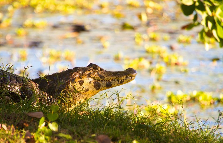 Beautiful stock photos of alligators, Alligator, Animal Themes, Animals In The Wild, Day