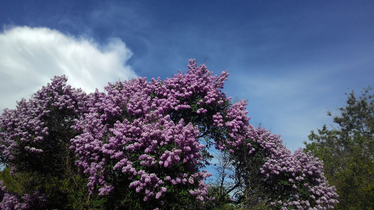 Flower Lilac Trees Cloud - Sky