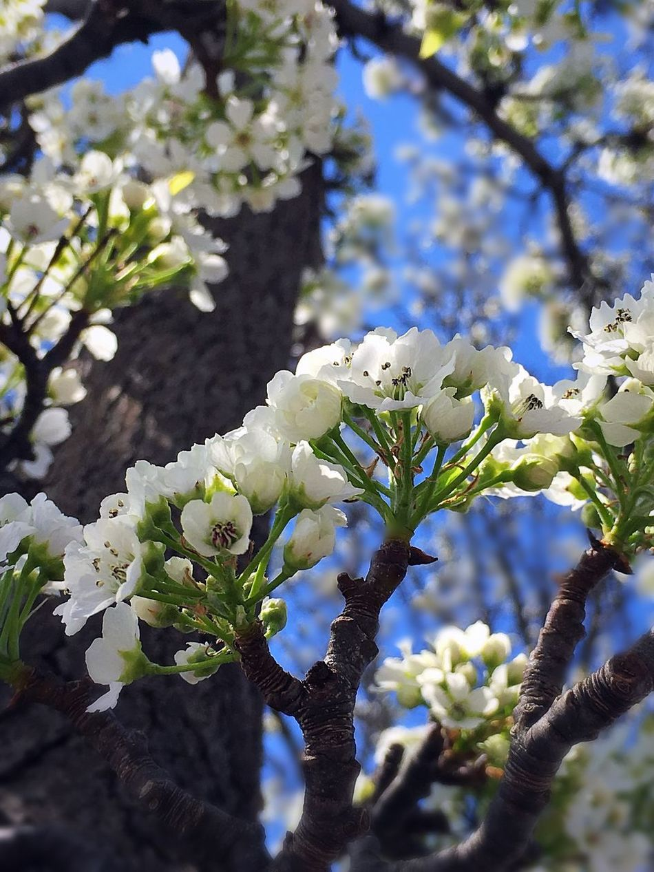 Springtime Tree Lookingup Growth Flower Fragility White Color Blossom Apple Blossom Close-up Branch Botany Freshness Beauty In Nature Nature Spring 2017 Michigan Pure Michigan United States