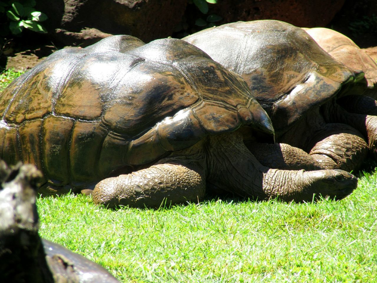 Animals In The Wild Grass Reptile Animal Themes Sunlight Nature Close-up Tortoise Tortoise Shell No People Backgrounds Reptile Collection Reptiles Of Eyeem Reptile Photography Zoo Animals  Grass Lying Down Honolulu Zoo Aldabra Giant Tortoise Giant Tortoise