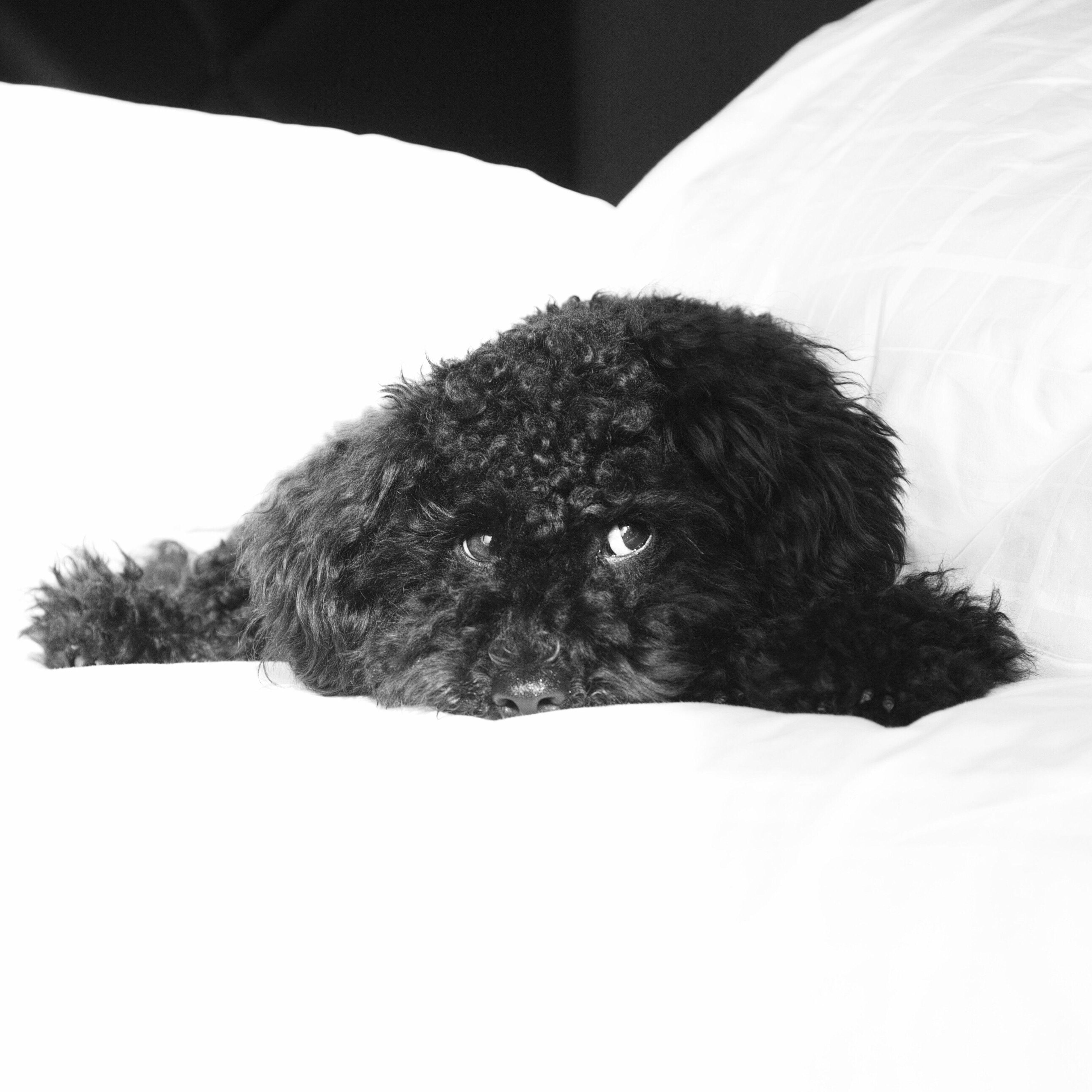 Toypoodle Toypoodles Toypoodlesofinstagram Poodle Poodle🐩 Dog Dogs Dog Love Dog❤ Dogs Of EyeEm Cute Pets Cute Dog  My Favorite Photo